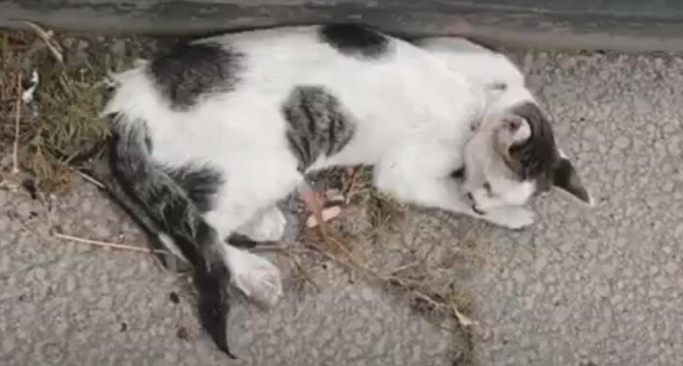 Poor Cat Was Shot, Hit By Car, And Stranded On The Highway…