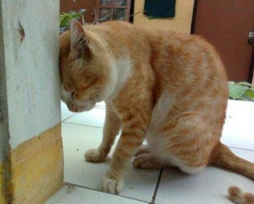 Recognizing Head Pressing Behavior In Your Cats Could Save Their Lives