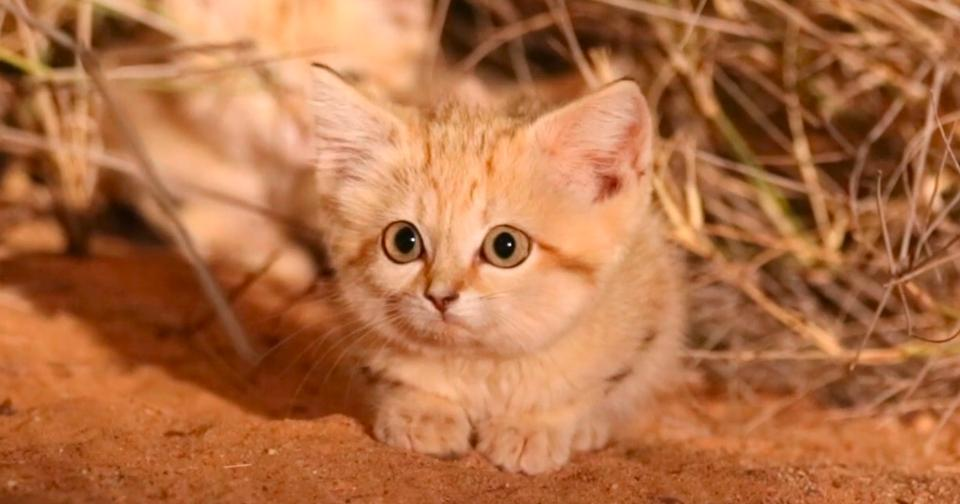 For The First Time Three Wild Sand Cat Kittens Were Spotted Into The Wild