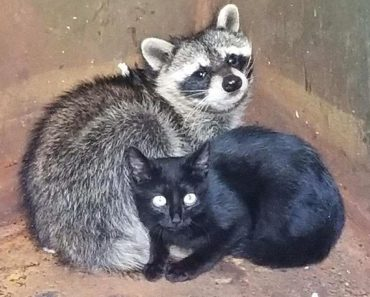 Kitten And Raccoon Found Cuddled Inside Dumpster Keeping Each Other Warm