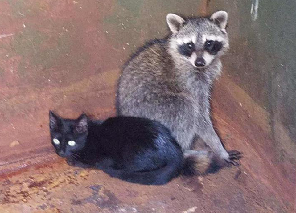 Kitten and baby raccoon