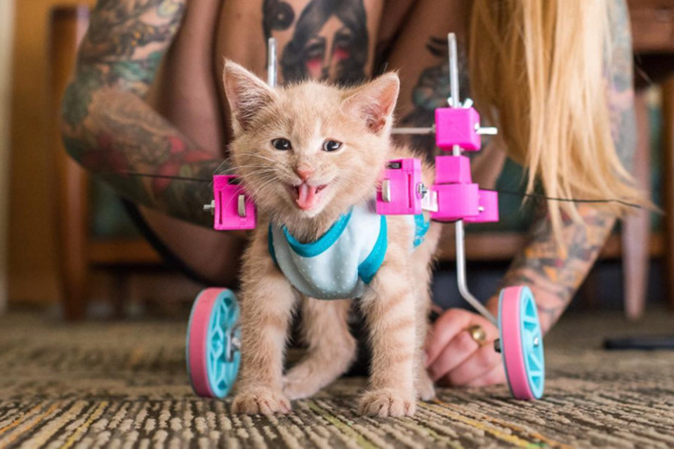 Paralyzed Kitten Refuses To Let Anything Slow Her Down!