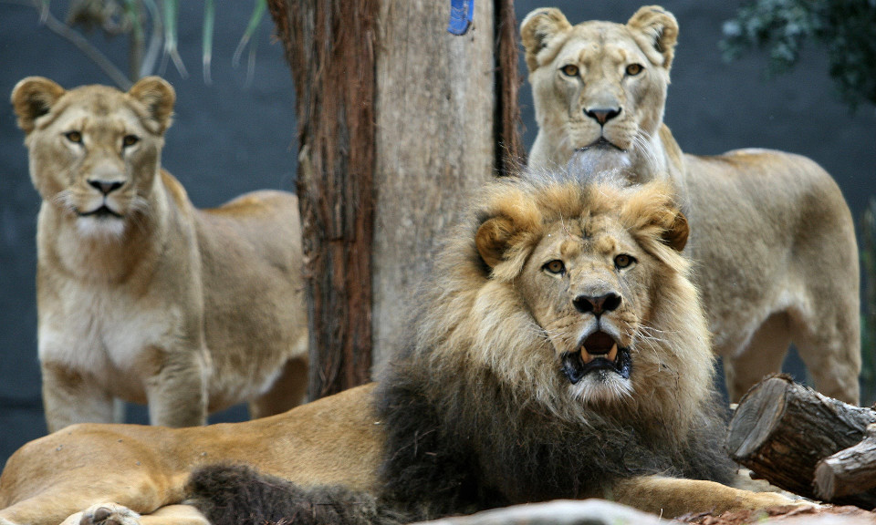 Three Lions Rescued A Girl From Kidnappers!