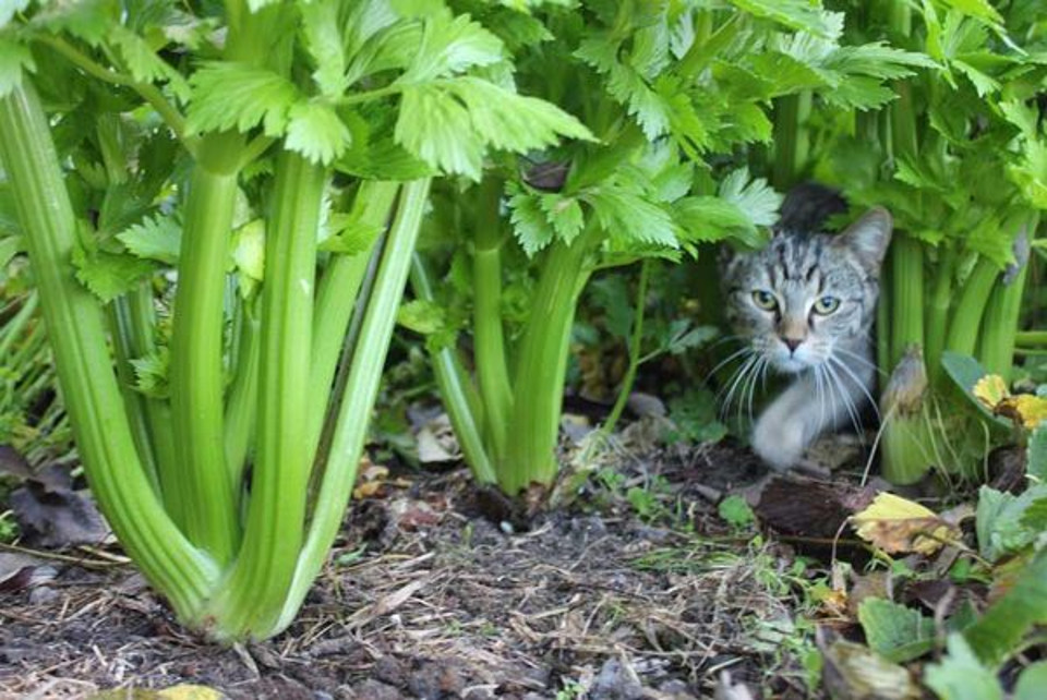 Can Cats Eat Celery?