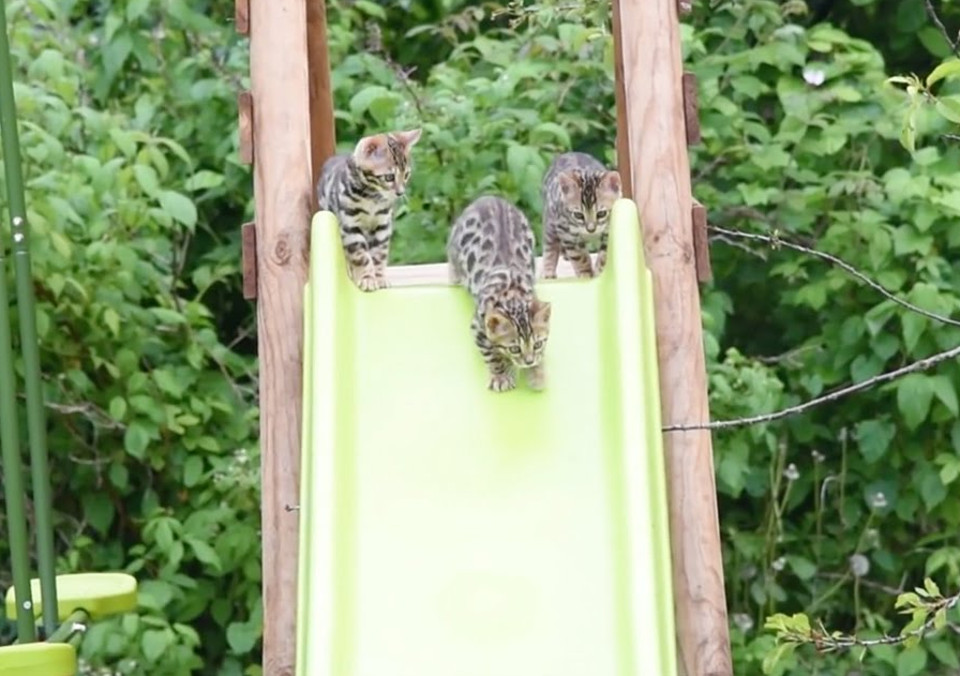Funny Bengal Cats!