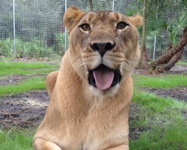 Lioness Found Chained To A Wall Got Rescued. Today She Lives The Happy Life She Deserves!