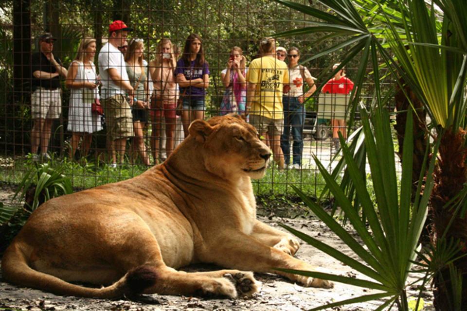 Nikita lioness