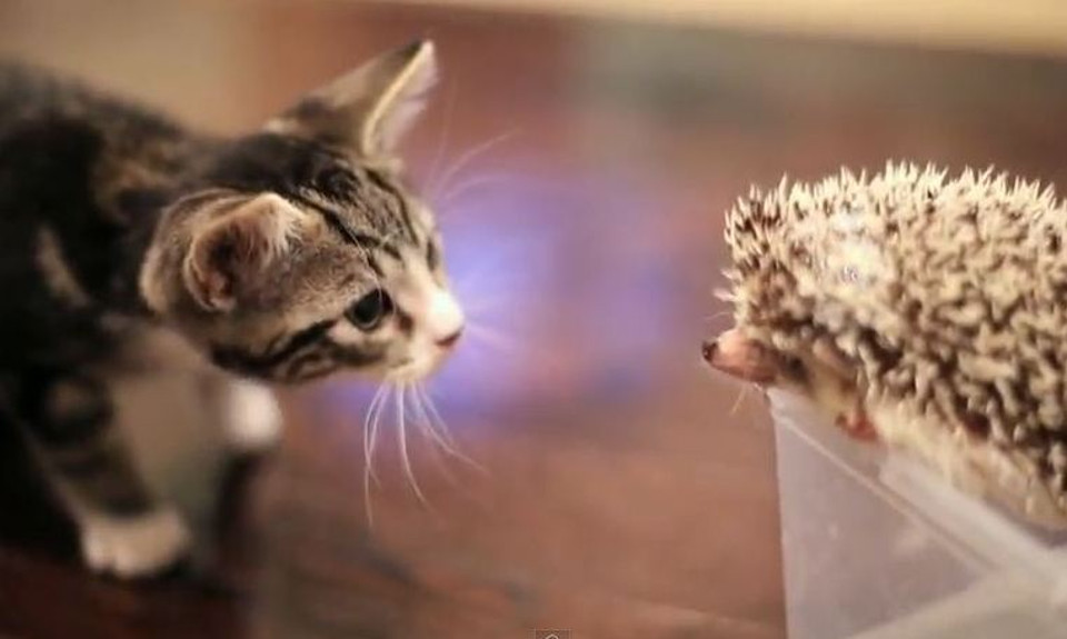 Kitten Meets Hedgehog For The First Time!