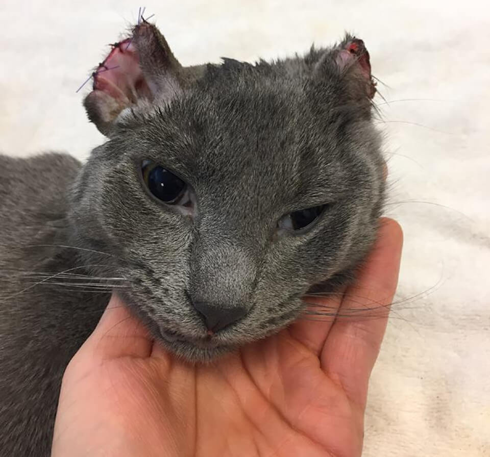 Kitten Who Lost Part Of His Ears And Toes Wants Nothing But Love