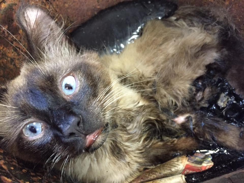 cat stuck in tar