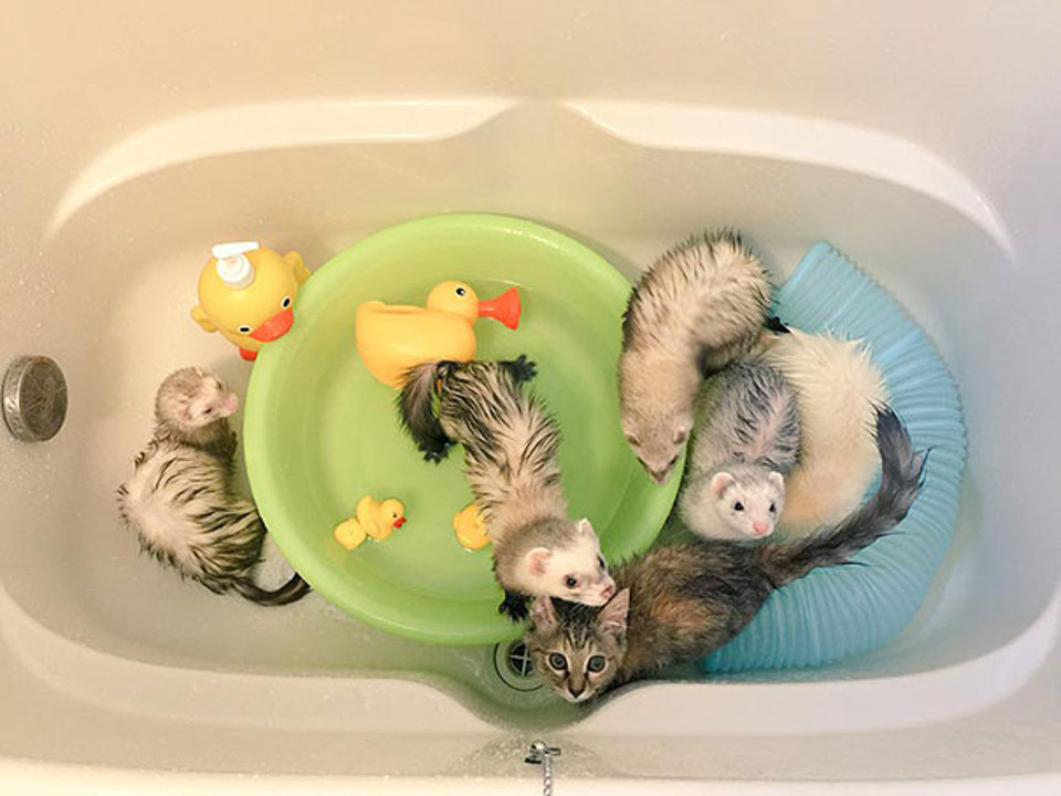 Kitten growing with ferrets
