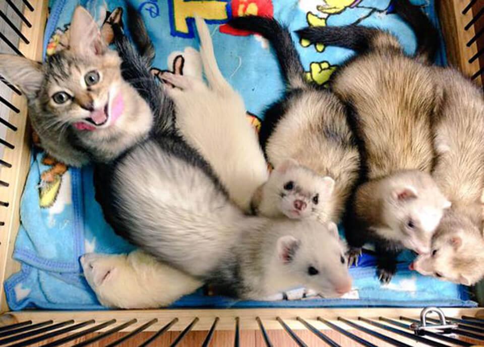 Kitten ferrets