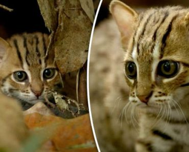 Say Hello To The World's Smallest Cat
