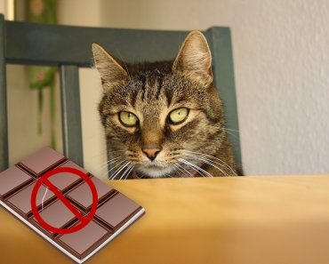 Can Cats Eat Chocolate?